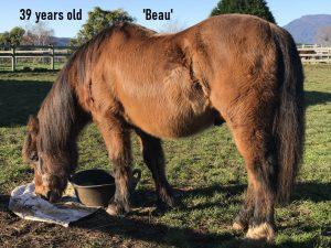 Senior horse feeding